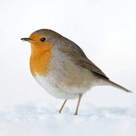Robin ( Erithacus rubecula ) dans la neige, hiver profond, plumage gonflé, faune, Europe. sur wunderbare Erde