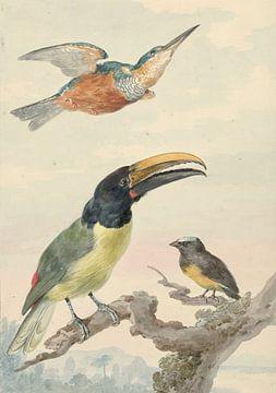 Drei Vögel: ein Eisvogel, ein Prinz von Wied's Tukan und ein Organist, Aert Schouman.