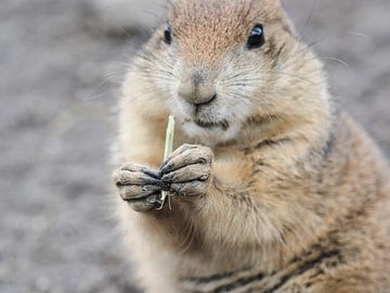 Prairiehonden : Diergaarde Blijdorp van Loek Lobel