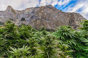 Cannabisveld in Zwitserland met bergen van Felix Brönnimann