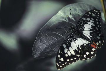 Papillon sur Lars Hoppe