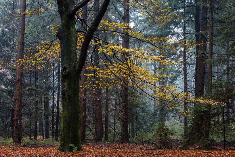 Autumn Beech van William Mevissen