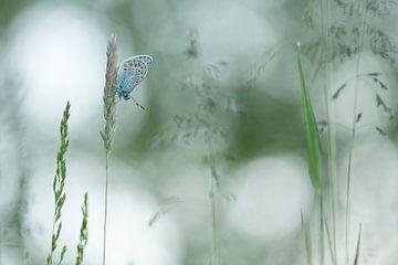 Icarusblauwtje - Common Bleu  von Aukje Ploeg