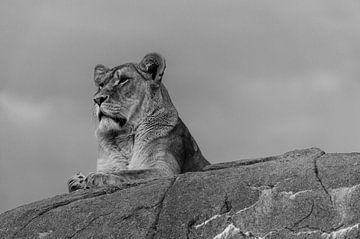 Leeuwin op de uitkijk. van Michel Swijgman
