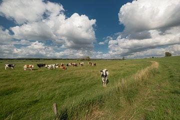 Nieuwsgierige koe in het weiland van Moetwil en van Dijk - Fotografie