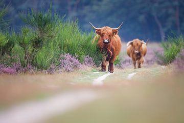 Schotse hooglanders van Pim Leijen
