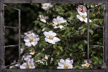 Raam uitzicht -  wilde rozen van Christine Nöhmeier