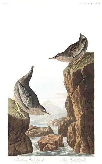 Noord-Amerikaanse Waterspreeuw van Birds of America