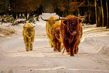 Schotse hooglanders in de winter van Roy De vries