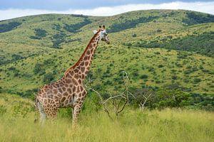 Giraffe in groen landschap van Dustin Musch
