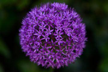 paarse uienbol von Petra De Jonge