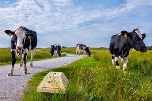 Koeien bij de kobbeduinen Schiermonnikoog van