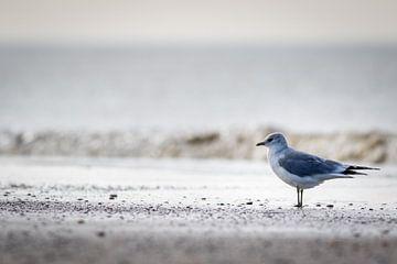 Möwe an der Küste von Marcel Alsemgeest