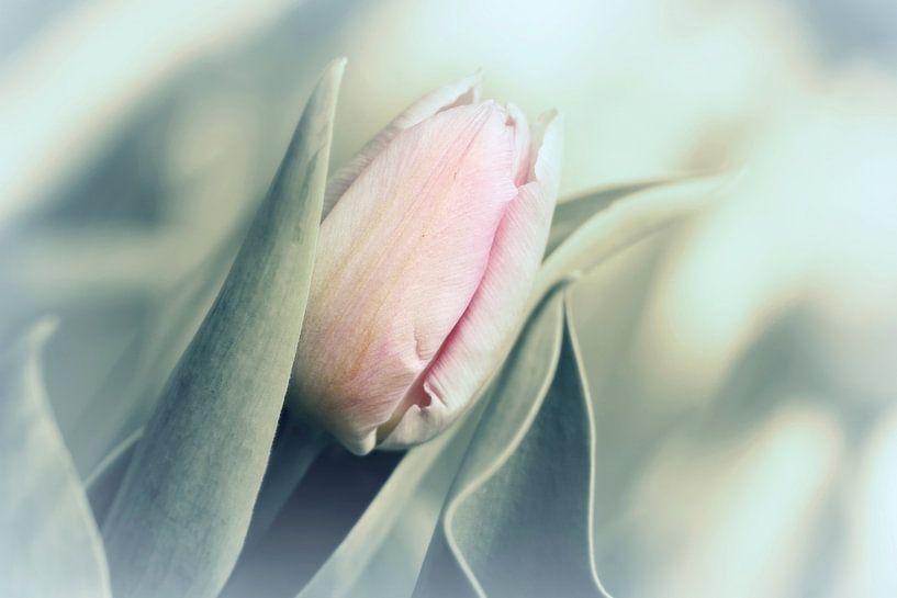 Tulpen von Heiko Lehmann