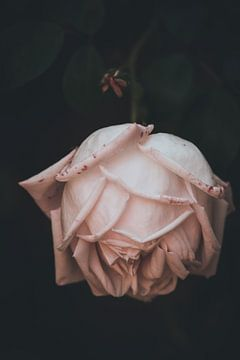 Schöne Rose auf schwarzem Hintergrund von Yana Spiridonova