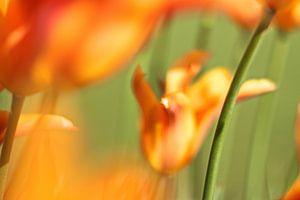 Oranie tulpen