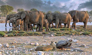 Löwe beobachtet Elefantenherde, Etosha, Namibia