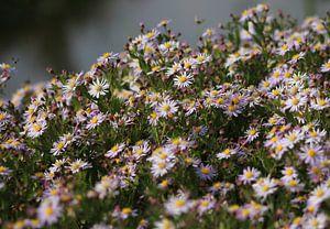 Paarse bloemen (herfstaster) van Sanne Willemsen