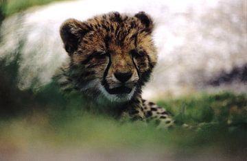 Portret van slaperige cheeta welp van Bobsphotography