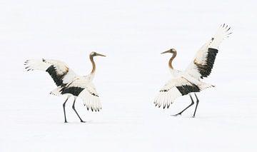 Tanzende Mandschurenkraniche von Harry Eggens