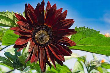 Rode zonnebloem van J..M de Jong-Jansen