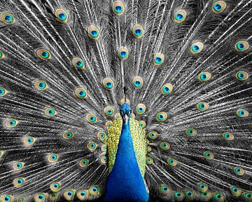 Kombination von Schwarz-Weiß und Farbe bei diesem Peacock von Patrick van Bakkum