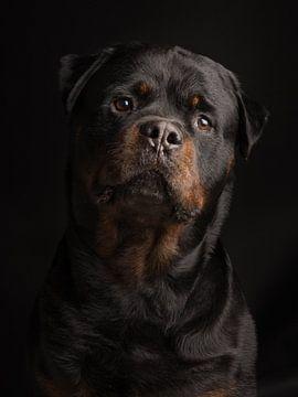 Rottweiler portret tegen een zwarte achtergrond sur Elles Rijsdijk