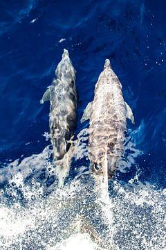 Klein Curacao Dolfijnen van Roel Jungslager