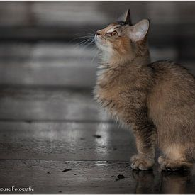 Noorse Boskat Kitten  van b- Arthouse Fotografie