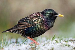 Common Starling  ( Sturnus vulgaris ) with alittle bit of snow