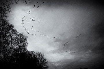 Gänse fliegen über den Nationalpark Big Peel, schwarz-weiß von Ger Beekes