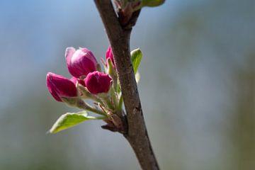 Donkerroze  Elstar appelbloesem van J..M de Jong-Jansen