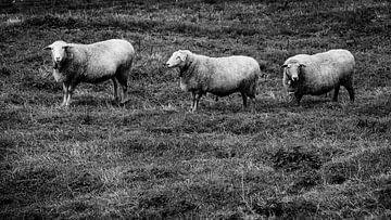 Schafe in Reihe von kuh-bilder.de