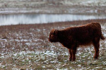 Schotse hooglander kalf van Miranda Geerts