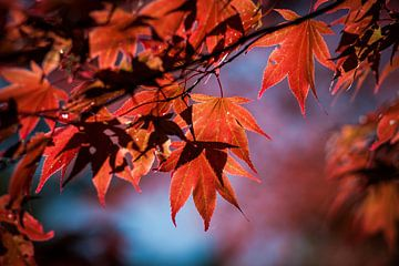 Rood esdoornblad tegen een blauwe lucht als achtergrond van Simone Janssen