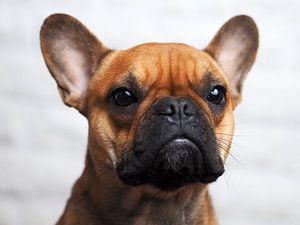 franse bulldog van