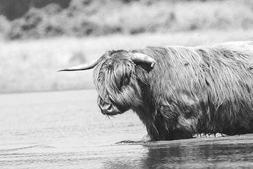 Schottischer Hochlandbewohner von Anne Zwagers