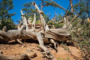 De dode boom in Mossy Cave van Ton Tolboom