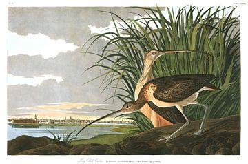 Langschnabel-Brachvogel