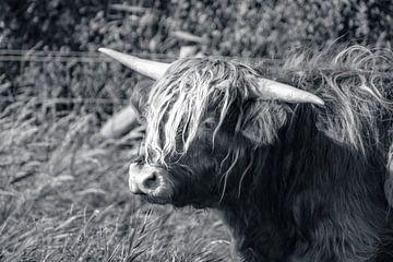 Schotse hooglander van StudioFocus
