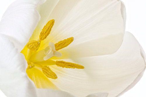 Tulp von Tanja van Beuningen