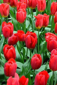 Tulipa bright Red sur Marcel van Duinen