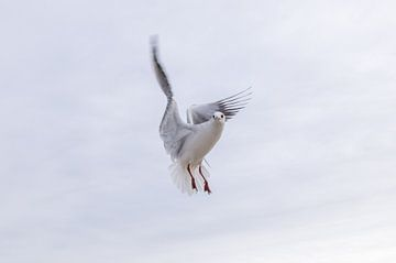 Möwe im flug von Jürgen Schmittdiel Photography