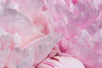 Drawn By Nature, Paeonia - Pioenroos roze #001 von Peter Baak