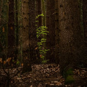 Junge grüne Buchenblätter zwischen alten Baumstämmen in einem dunklen Wald, Kopierraum, ausgewählte  von Maren Winter