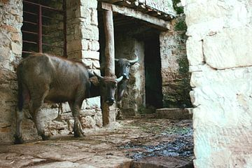 Twee koeien in Chinese boerderij von André van Bel