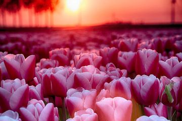 Roze tulpen van Sandra de Heij