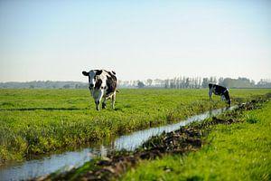 Twee koeien in een typisch Nederlands landschap