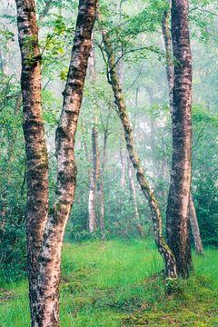 Birkenbäume auf der Veluwe von Sander Grefte