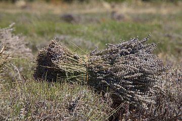 Lavendel oogst 1 van Jan Piet Hartman